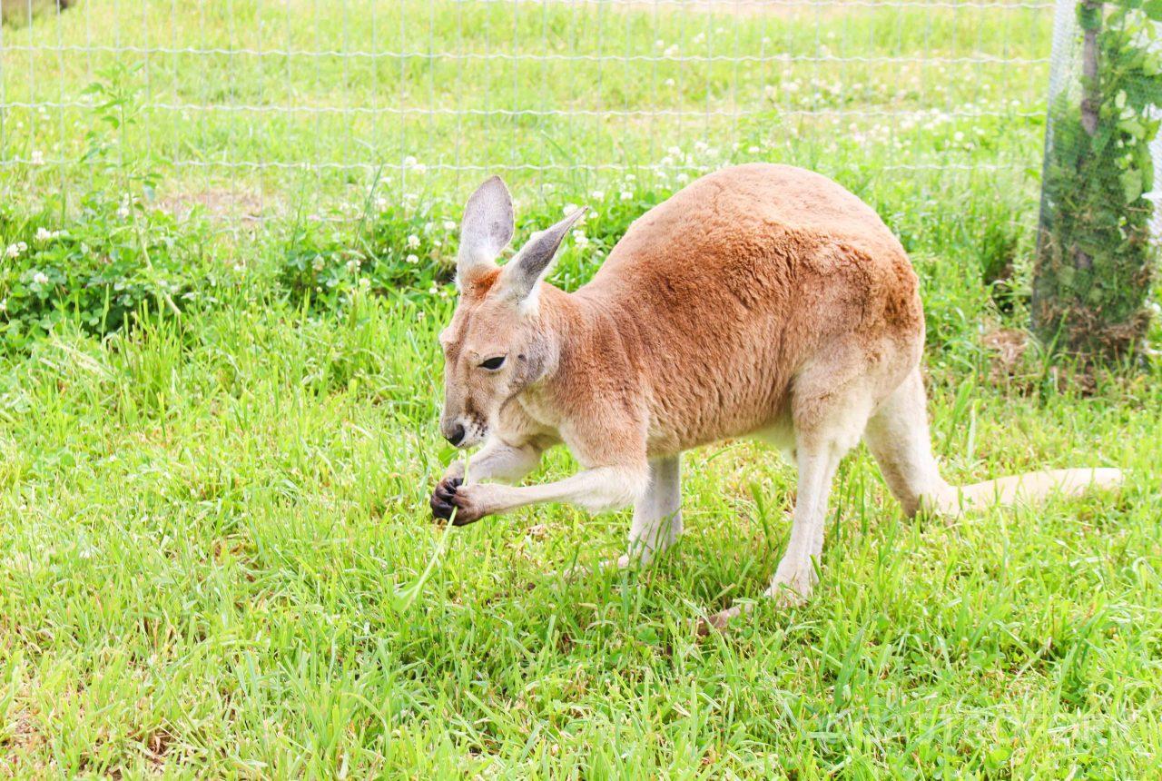 kelowna kangaroo farm
